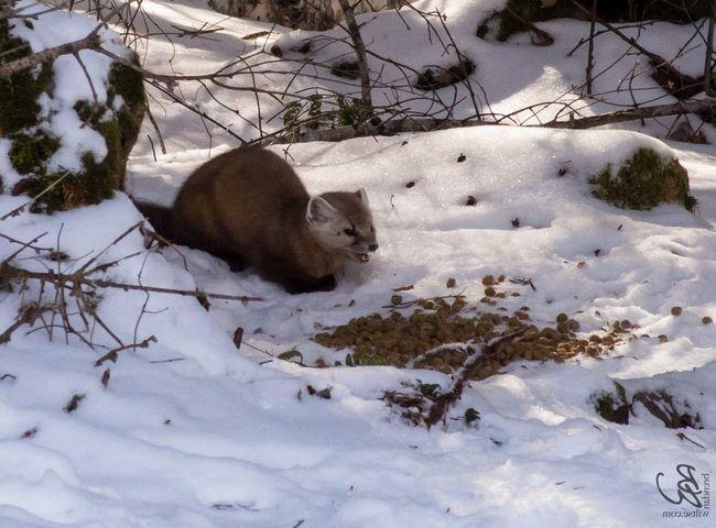 Civet - mala krznena životinja.