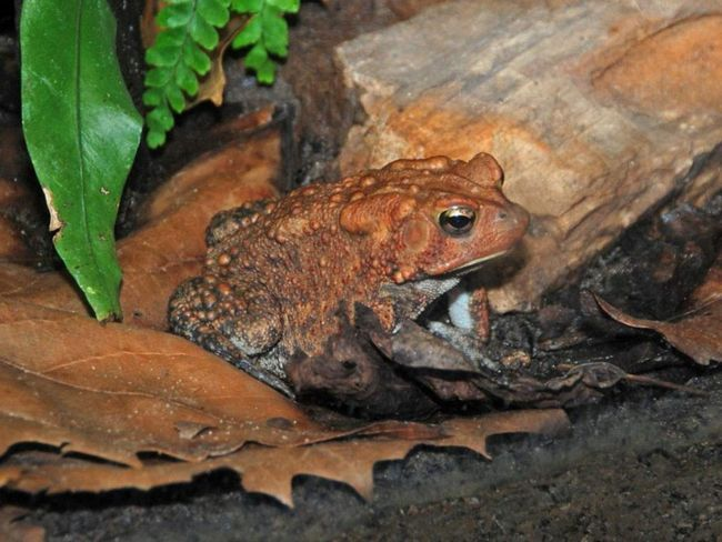 Американская жаба (Anaxyrus americanus).