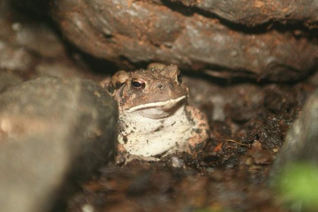 Требования к содержанию этих жаб высоки.