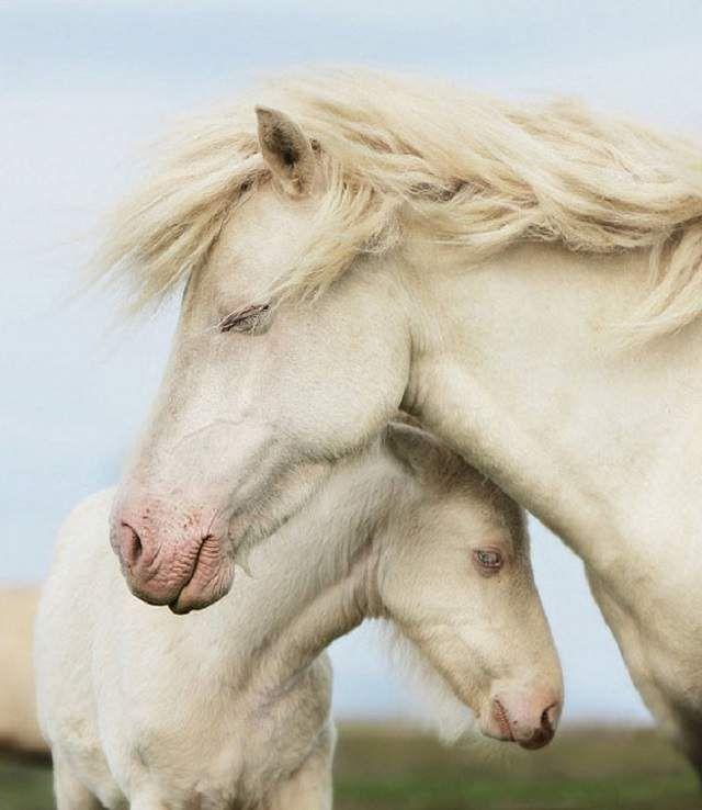 Američka pasmina konja albino.