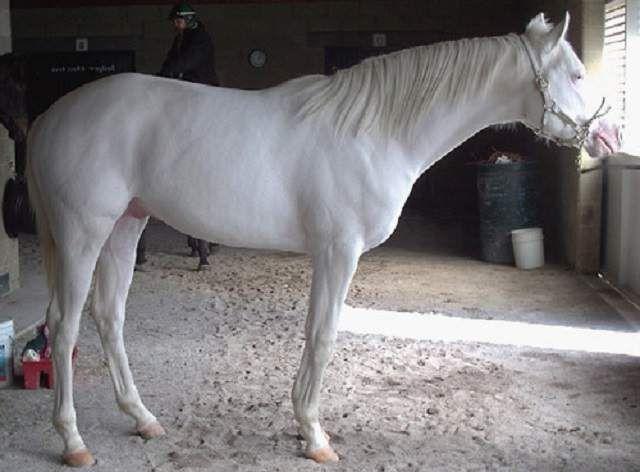 Kada je prešao s druge rase albino konja pola ždrebad rađaju boju.