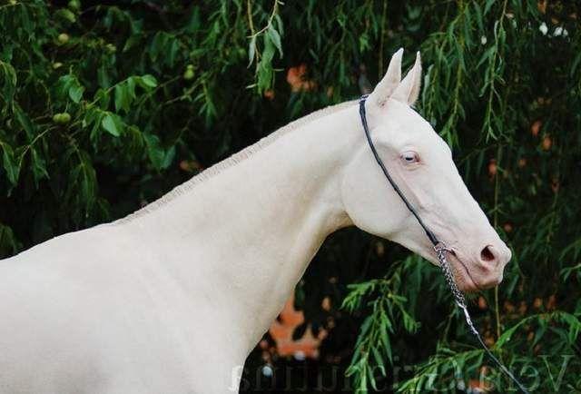 Posebnost ove pasmine je bijela ili snijeg bijele grive, plave oči i kožu ružičasto nijanse.
