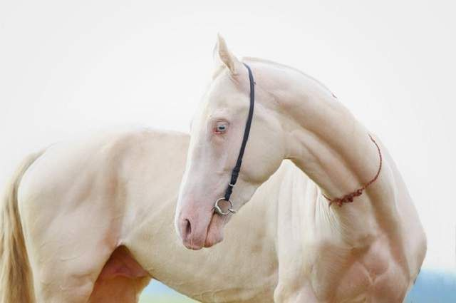 Zahvaljujući vlasnicima Old King je Amerikanka Albino je postao široko poznat i popularan konja na svijetu.