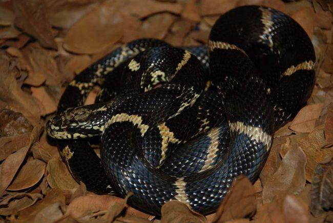 Amur zmija živi na Dalekom istoku Rusije.