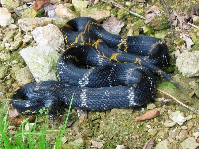 Ponekad Amur zmije se naći ne samo u šumi, ali i u gradovima i selima.