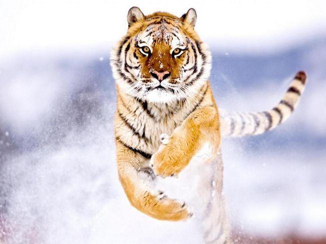 Amur tigar (lat. Panthera tigris altaica)