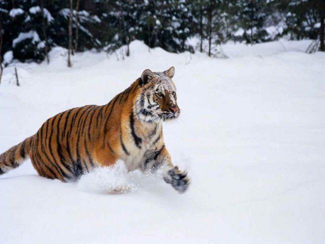 Snijeg i mraz - prirodno stanište ove jedinstvene tigra.