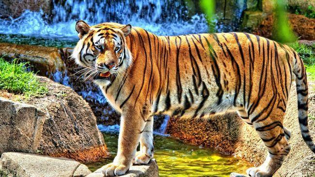Tigra u divljini - nevjerojatno prekrasan pogled.