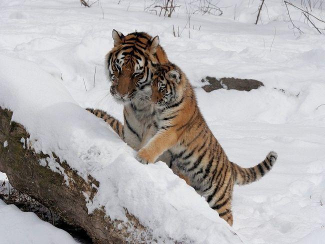 Prvi koraci tiger potomaka u Siberian Snježne.