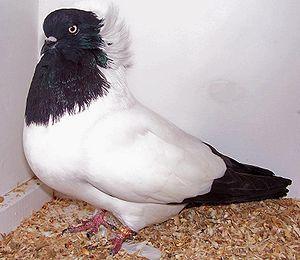 Английский крестовой голубь