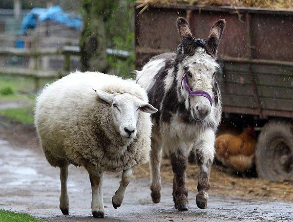 Magarac i ovce
