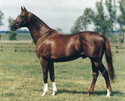 Anglo-arapski konj fotografija