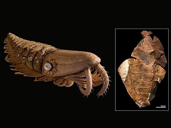Giant killer škampe (desno) iz Ordovicij vjerovatno je spolja sličan svojim rođakom kambrijskom Laggania (lijevo).