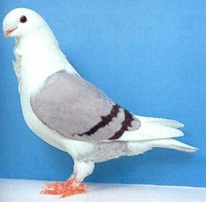 Антверпенская порода голубей