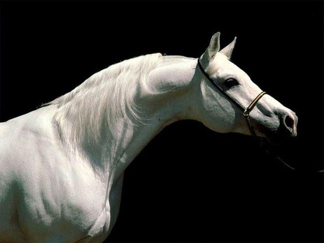 Arapski konj bijele boje.