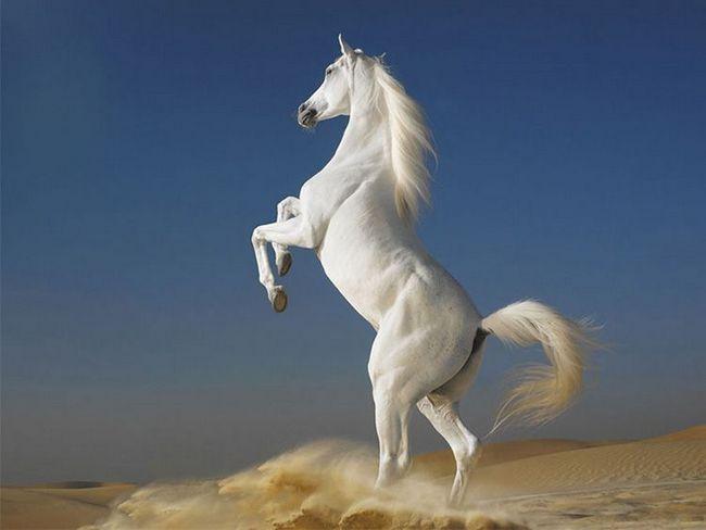 Arabian Horse - uzorak milosti.
