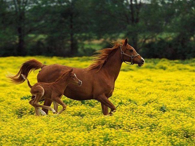 Arapski konj - jedan od najskupljih na svijetu.