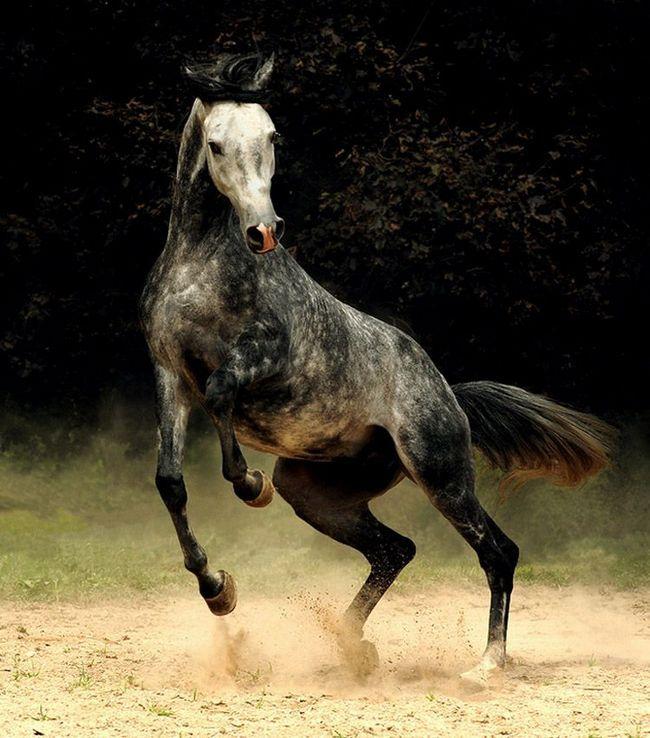 Arabian Horse - kombinacija brzine i izdržljivosti.