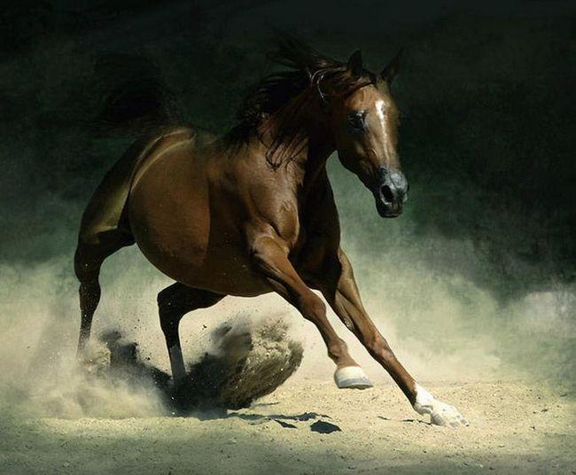 Krvlju Arabian uzgajivači konja poboljšati druge rase.
