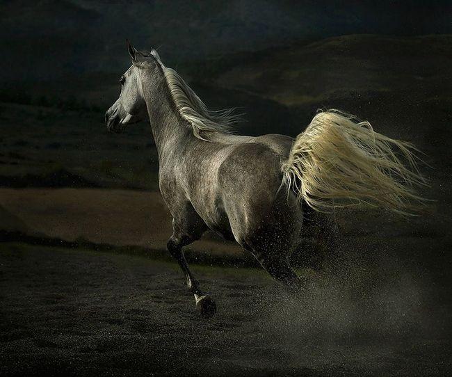 Arapskih konja Wojtek Kwiatkowski