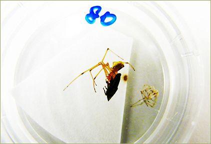 Před tímto arachnologie neviděli pavouky s tesáky a červené ve stejném místě na hlavě © pinterest.com