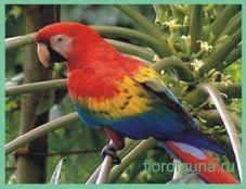 Арамакао или красный ара / ara macao