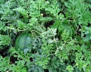 Lubenica uzgoj