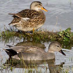 Серые утки вверху самка внизу самец