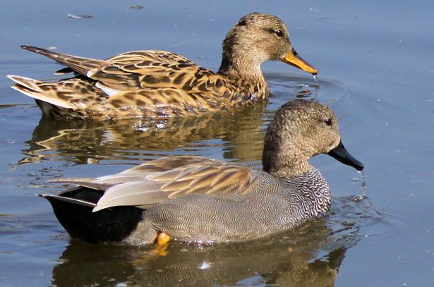 Самец (внизу) и самка (вверху) серой утки
