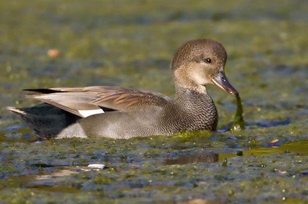 Самец серой утки ищет еду