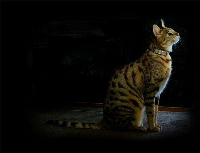 Usher (rođena ashera.) - hibrid rase mačaka