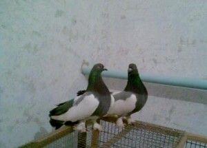 Астраханская порода голубей