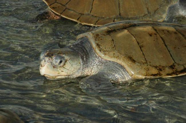 Atlantic Ridley - među najmanjima morske kornjače, ali su njihove stope rasta su znatno veći od onih rođaka.
