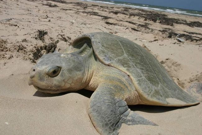 Odnos Atlantic Ridley inkorporirani: puževi, školjke, morski krastavac, koral, meduza, itd