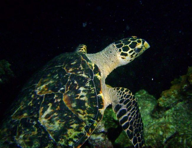 U potrazi za hranom Kemp Ridley morskih kornjača prevazilazi nekoliko hiljada kilometara.