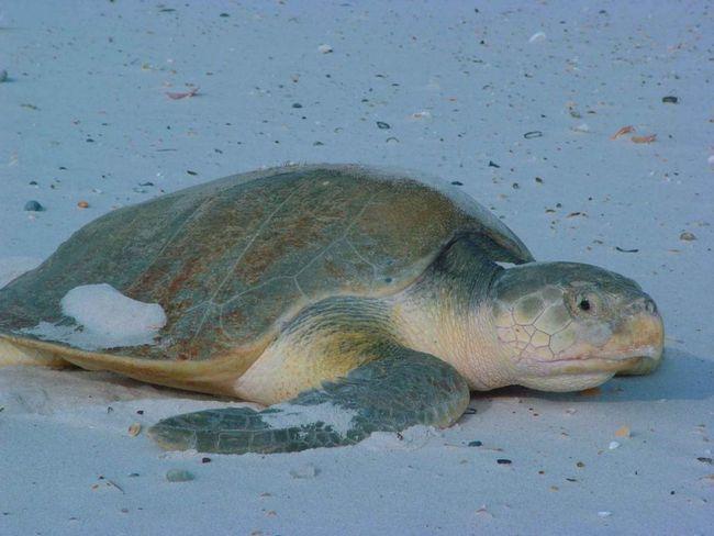 Ovaj tip je najbrže rastući svih morskih kornjača.
