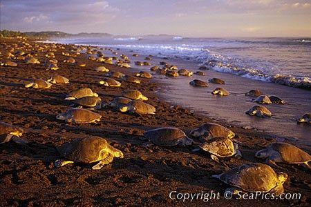 Najmisterioznijih svih morskih kornjača - Kemp Ridley morsku kornjaču.