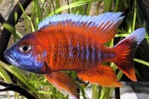 Аулонокара — красная молния аквариума
