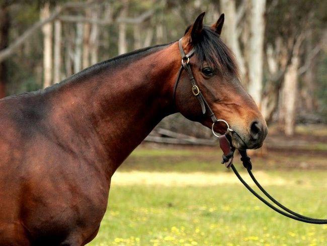 Australian pastiri su uzgojeni iz engleskog i španski rasnih konja.