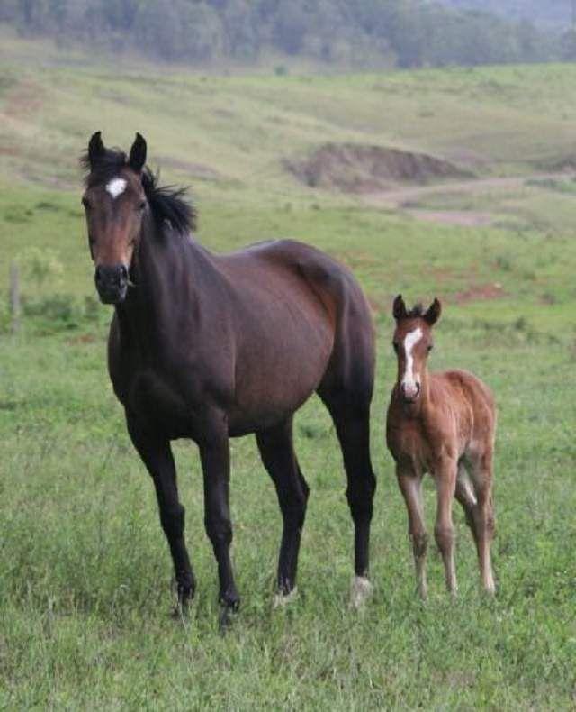 Pastiri konj je vrlo izdržljiv i jak, tako da mogu raditi na neizgrađeno zemljište čovjeka.