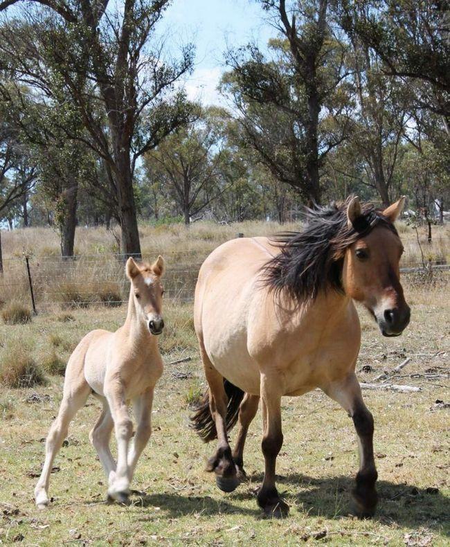 Danas, Australski Ovčar se sve više gleda kao na štetočine koji su konkurencija hrane za stoku.