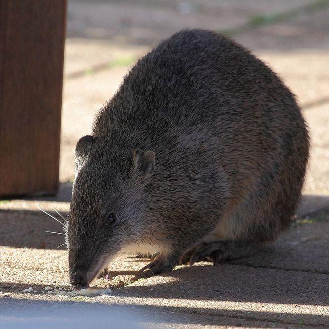 Австралийские леса сохранят землеройные млекопитающие