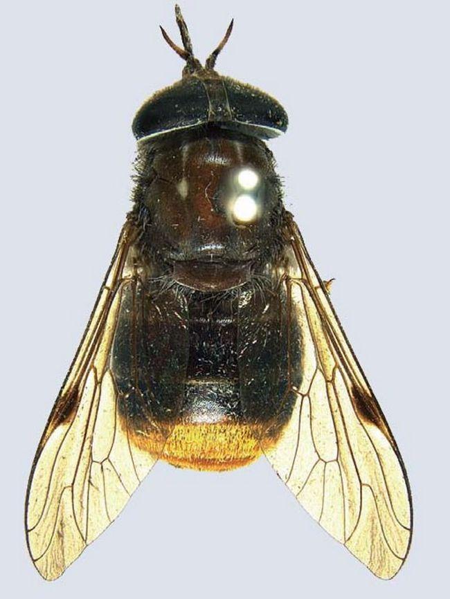 Australian naučnici su pozvali Horsefly nakon Beyonce