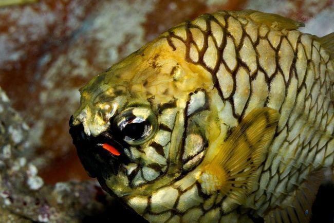 Australian shishechnik (Cleidopus gloriamaris)