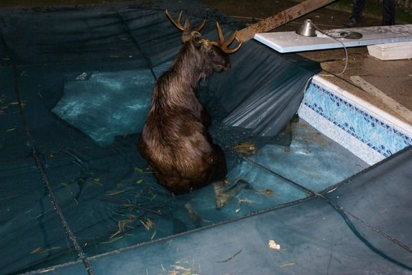 Угодившего в бассейн лося спасали 9 человек