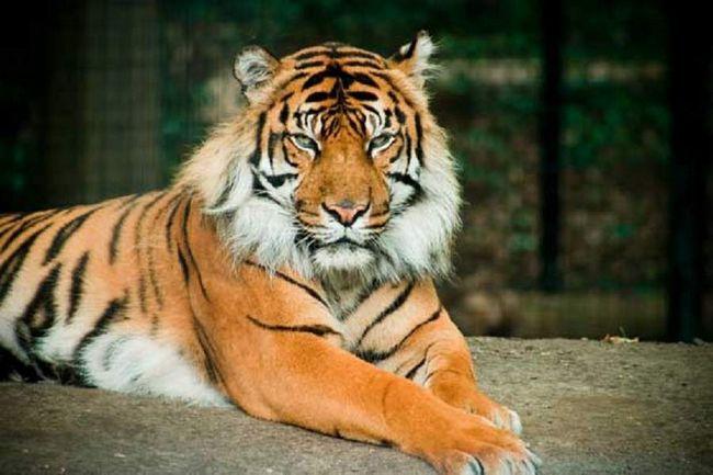 Bali Tiger - uništena podvrsta