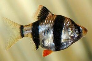 Барбус суматранский: размножение, содержание и уход