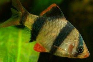 Барбусы: совместимость с другими рыбками