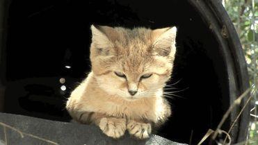 Barchan cat - malo čudo, mačka, mače