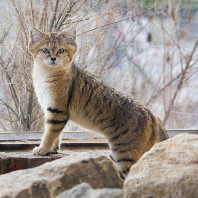 Песчаный кот, или барханная кошка (лат. Felis margarita)